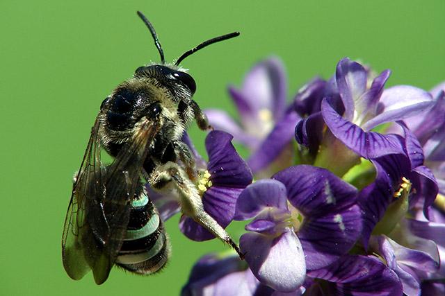 Солончаковая пчела