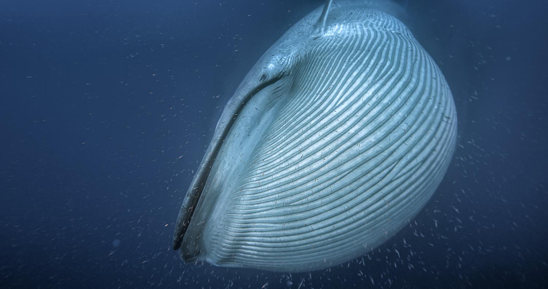 Учёные считают, что синий кит (на фото) идругие усатые киты приобрели огромные размеры благодаря ледниковому периоду. Но эти изменения стали возможными благодаря их способности отфильтровывать пищу из воды. Источник: Silverback Films/BBC