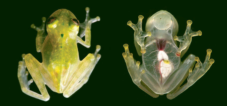 Направом снимке хорошо видно, почему лягушек семейства <i>Centrolenidae</i> называют «стеклянными».