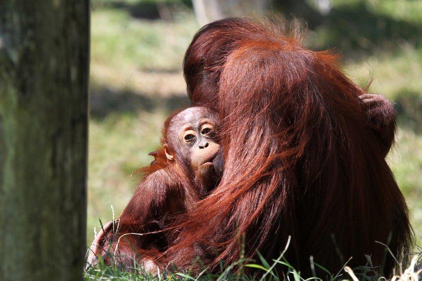 Самка орангутана кормит детёныша