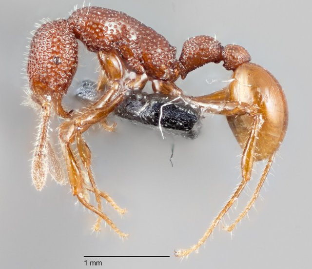 Рабочая особь муравья вида T. rex.