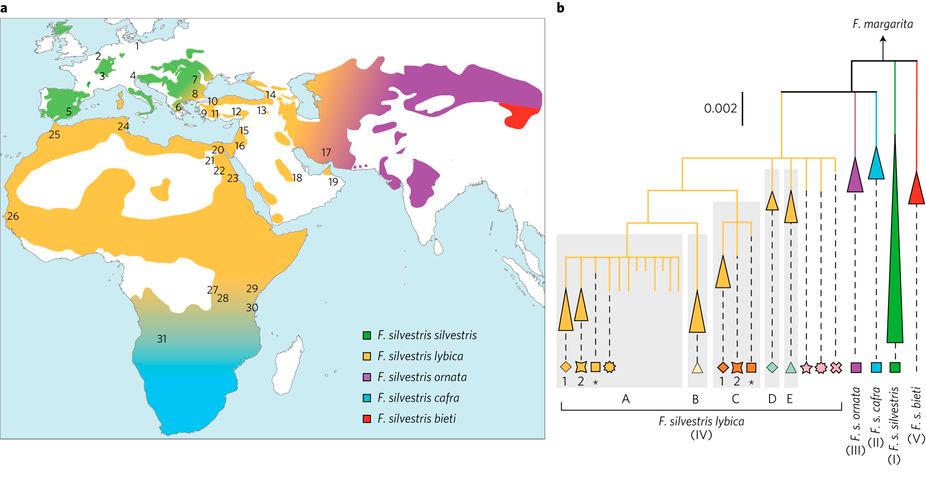 а. Современное распределение 5 подвидов <i>Felis silvestris</i> b. Дерево митохондриальных линий древних исовременных диких идомашних кошек. А— Е влевой части рисунка— субклады <i>F. s. Lybica</i>. Иллюстрация из обсуждаемой статьи
