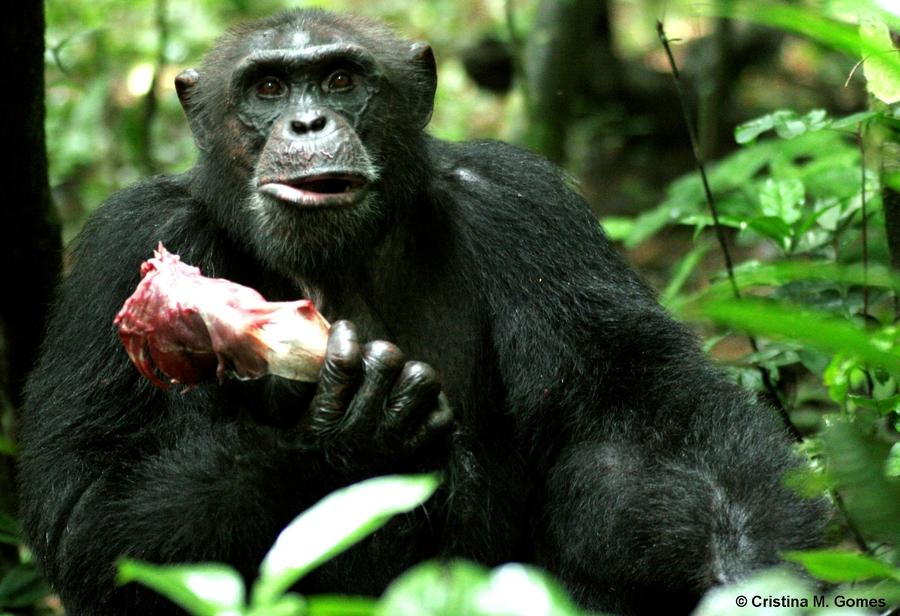 Некоторых может удивить, что шимпанзе иохотятся, иедят мясо.
