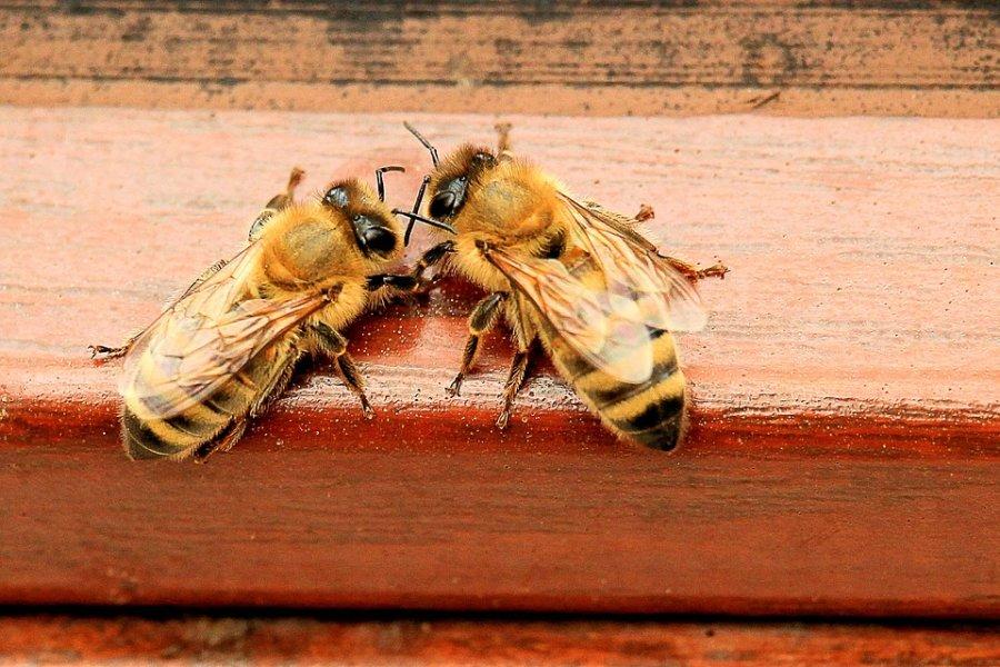 Социальные взаимодействия— основа жизни пчелиной семьи.