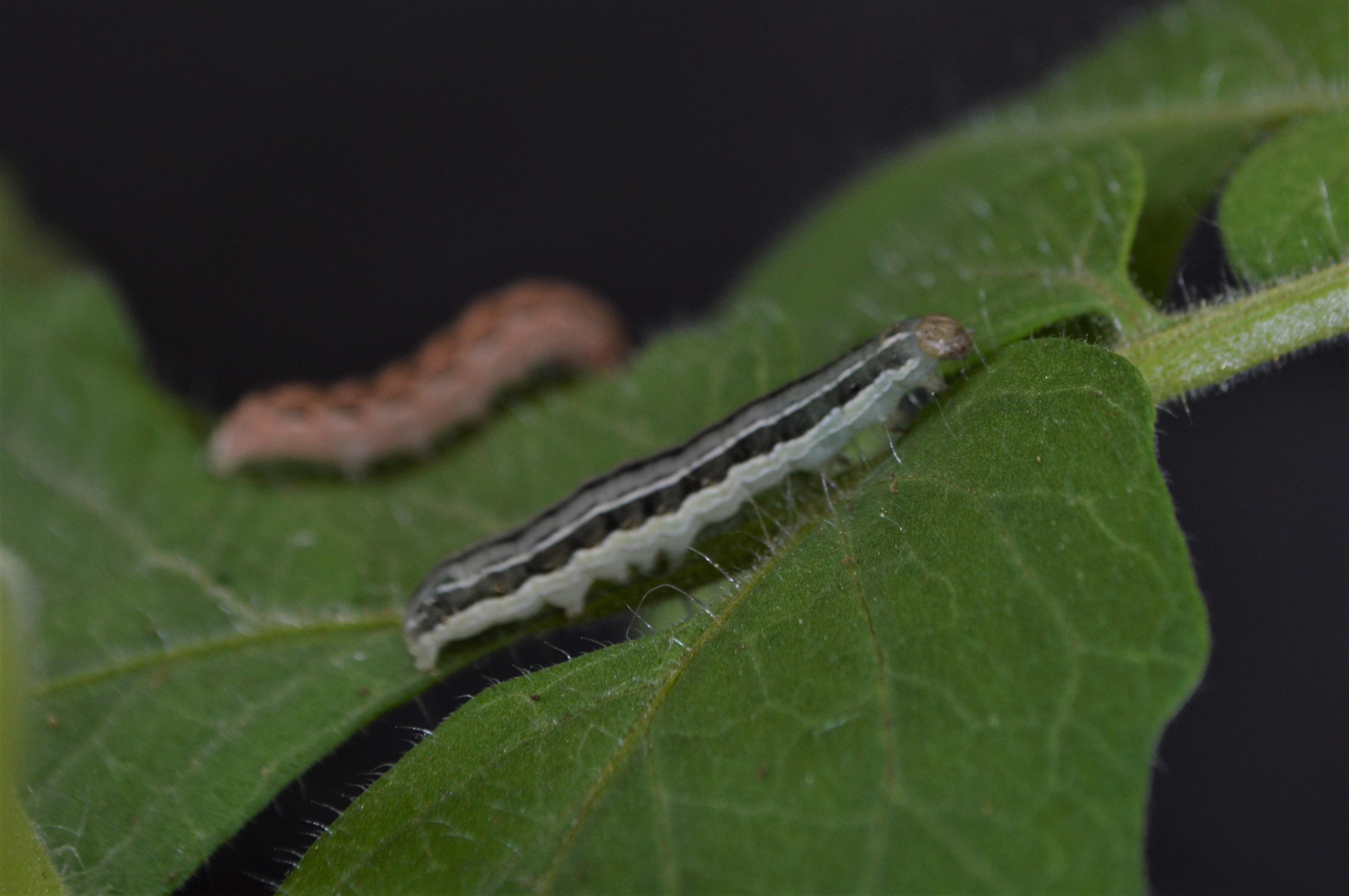 Если этот помидор предупреждён об опасности, гусеница может обернуться против своего сородича.
