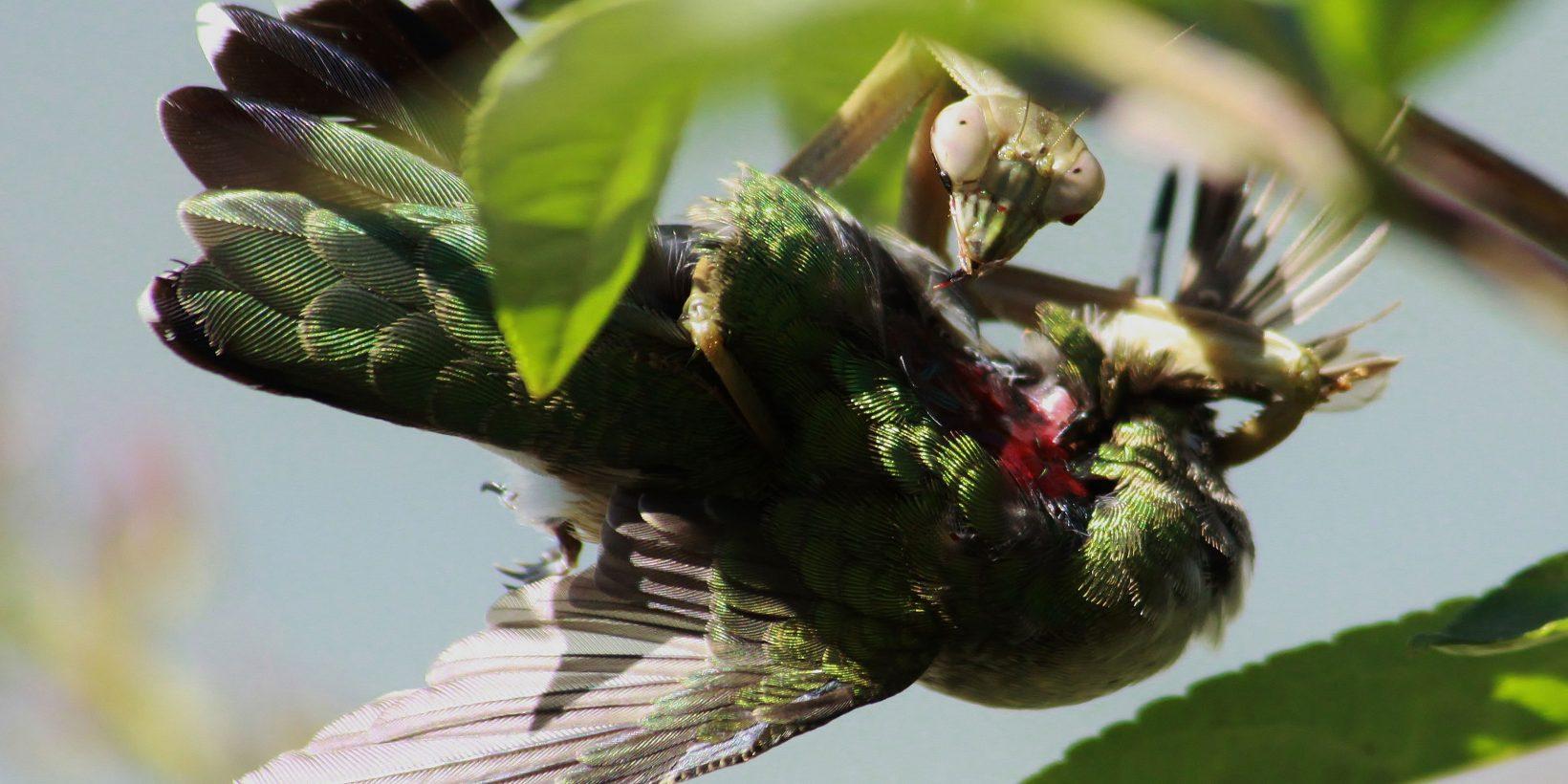 Богомол ест птицу