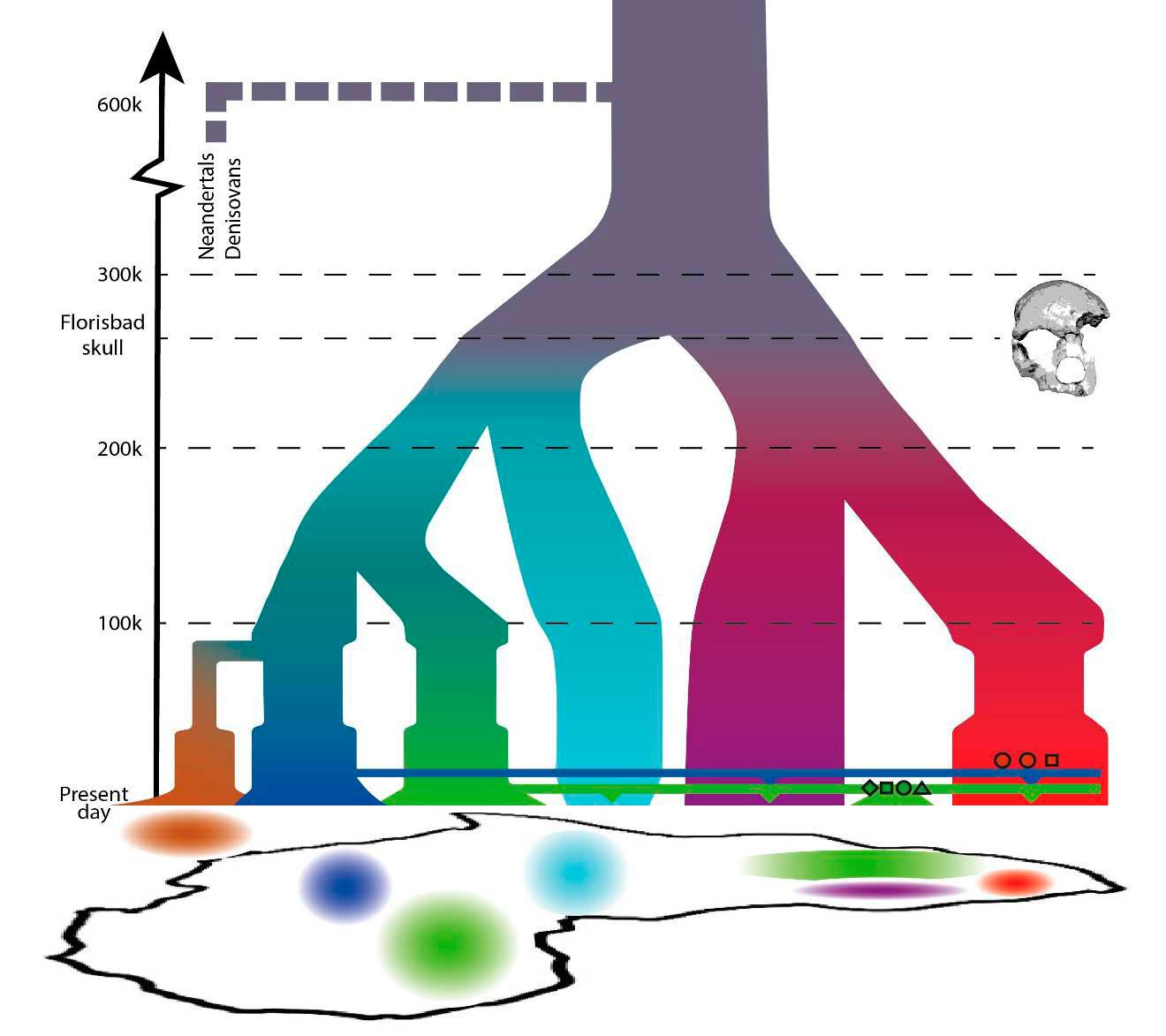 Родословное дерево человека согласно новым данным. По вертикальной оси— возраст. 3 генома охотников-собирателей каменного века показаны красными символами (квадрат— Дунсайд,  кружки— Баллито Бэй, правая часть рисунка), 4 генома фермеров железного века— зелёными. Лиловая ветвь— современные койсаны, голубая— пигмеи, зелёная— Западная Африка (манденка, йоруба), синяя— Восток Африки, коричневая— Евразия.