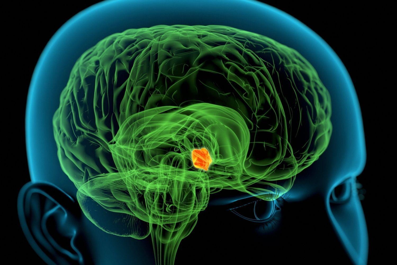 Гипоталамус— небольшая область промежуточного мозга, которая регулирует многие жизненно важные процессы, идущие ворганизме.