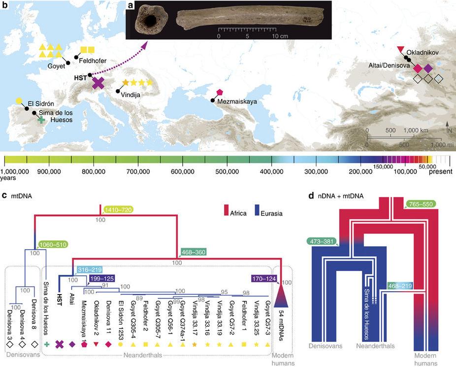 """a) Изображение бедренной кости из Холенштайн-Штадель; b) Карта местонахождений древних гоминин, из которых была получена полная мтДНК; c) Родословное дерево современных людей, неандертальцев, денисовцев игейдельбергского человека из Сима де лос Уэсос наосновании данных по мтДНК. В«узлах» нацветном фоне указаны датировки ветвления; d) Родословное дерево неандертальцев, денисовцев исапиенсов: широкие линии— по ядерной <abbr lang=""""ru"""" title=""""Дезоксирибонуклеиновая кислота"""">ДНК</abbr>, узкие линии— по мтДНК."""
