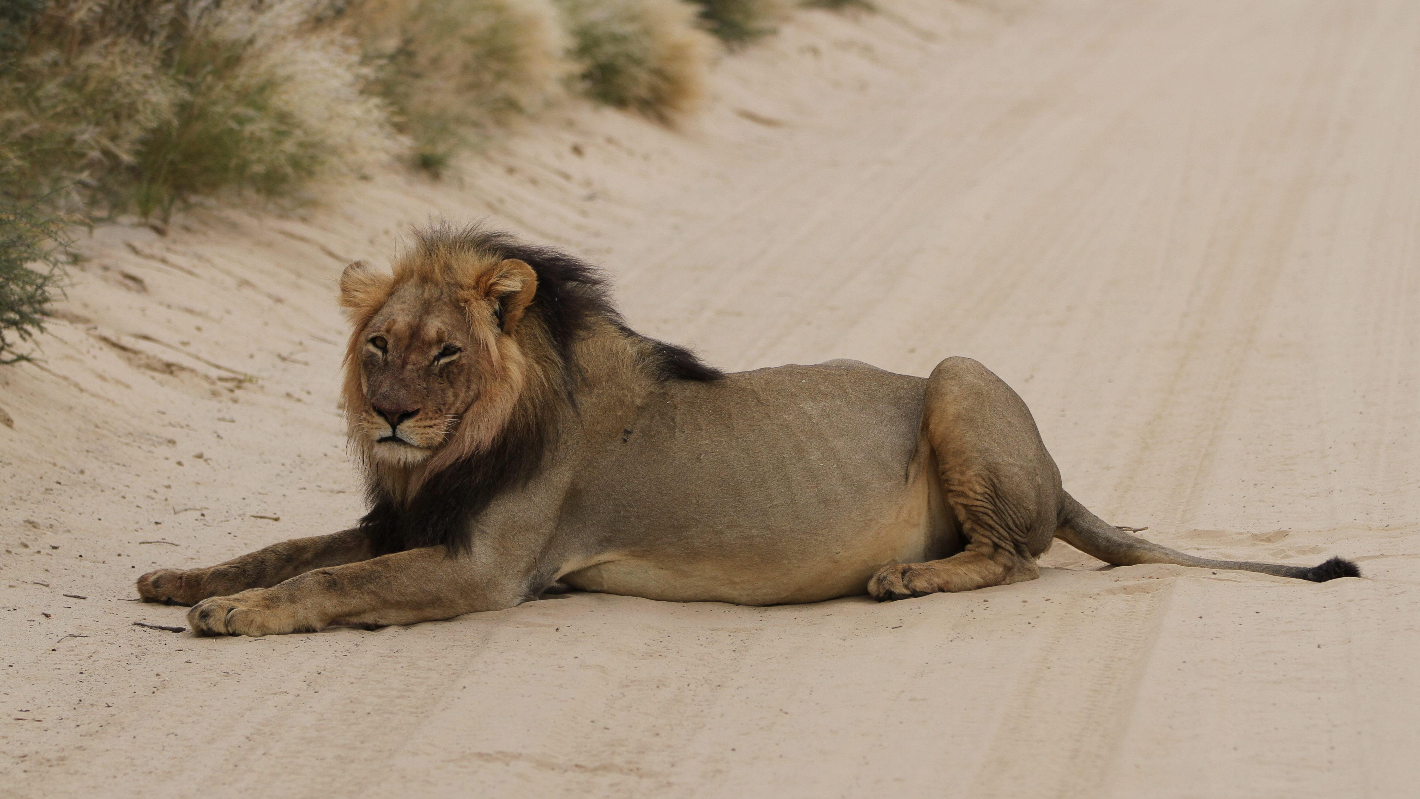 За последние 20 лет численность африканского льва сократилась на43%. Возможно, мы напороге нового массового вымирания?