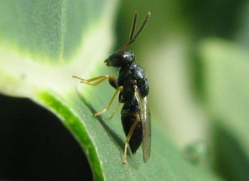Взрослая особь вида <i>Copidosoma floridanum</i>.