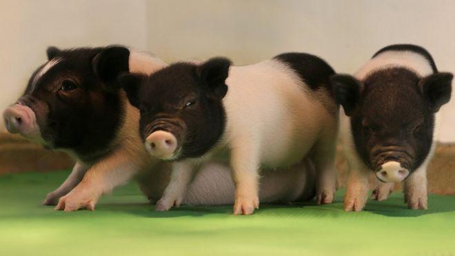 Генетически модифицированные поросята, избавленные от свиных эндогенных вирусов.