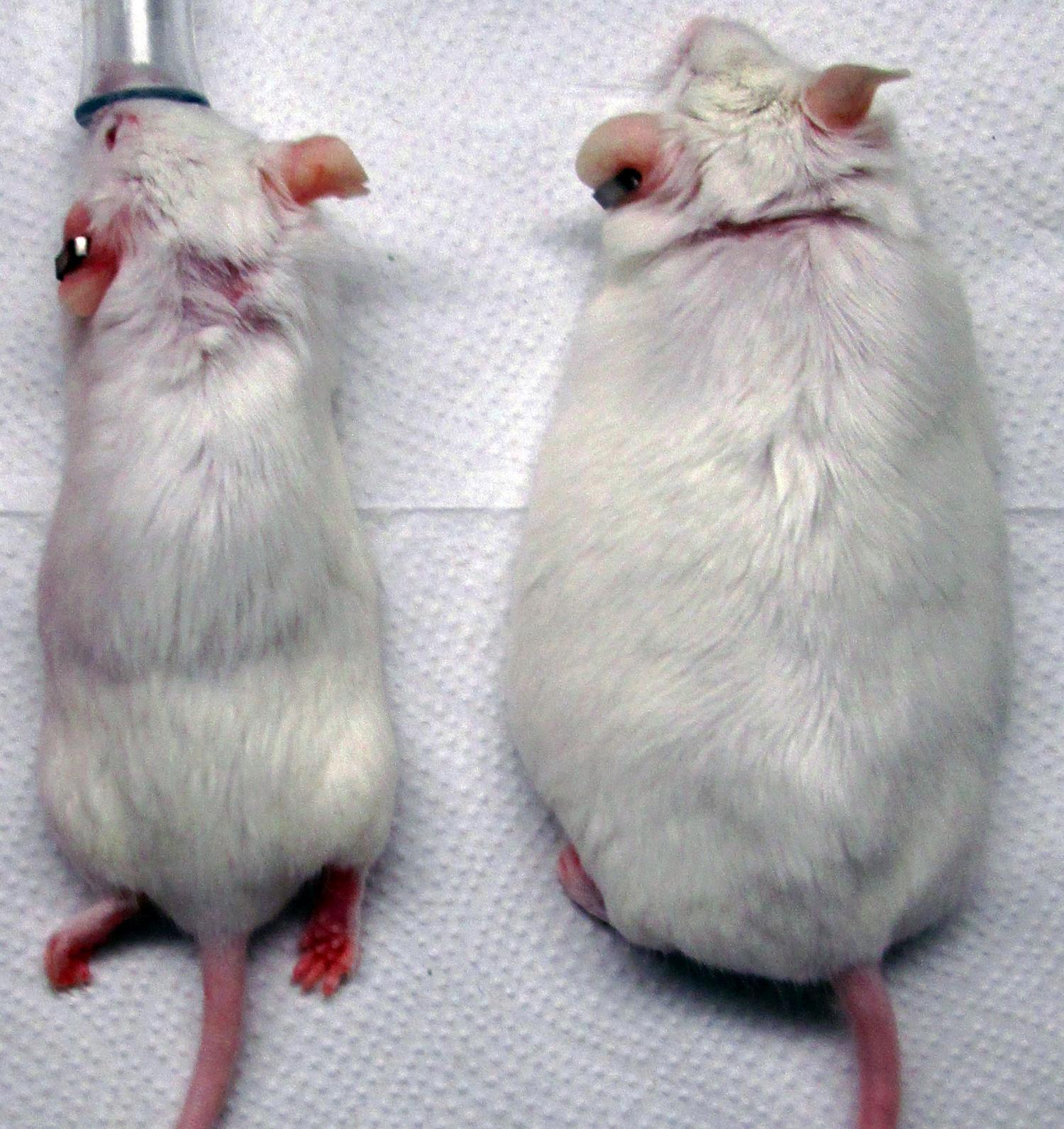 Мыши из экспериментальной (слева) иконтрольной (справа) групп. Видно, что животное, получившее генную терапию, набрало существенно меньше веса.