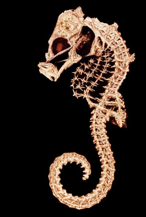Морской конёк, КТ-снимок. Автор— Адам Саммерс.