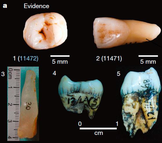 1,2) Человеческие зубы из Лида Аджер, найденные Дюбуа;  3) фрагмент сталактита, использовавшийся для датирования отложений; 4,5) моляры орангутана, использовавшиеся для датирования останков фауны