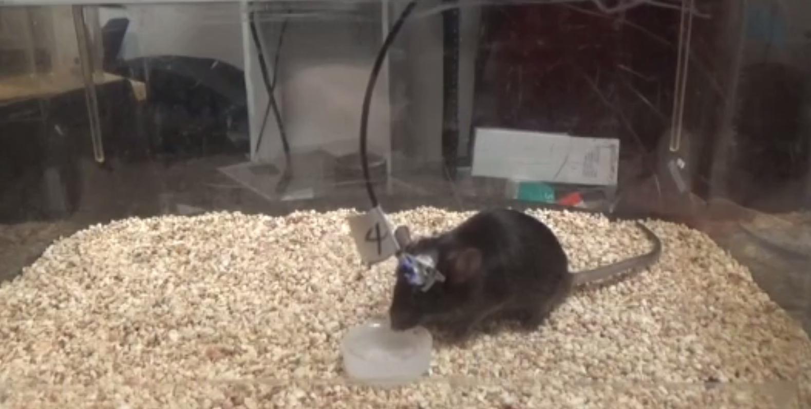 Мышь пьёт воду, потому что учёные «включили» нейроны, отвечающие за ощущение жажды.