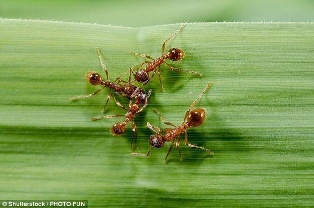 Учёные сообщили, что крем для кожи, всостав которого входит соленопсин, токсичный компонент яда огненных муравьёв, помогает бороться спсориазом. Исследование позволяет предположить, что яд огненных муравьёв однажды будет использован для лечения симптомов этой болезни кожи.