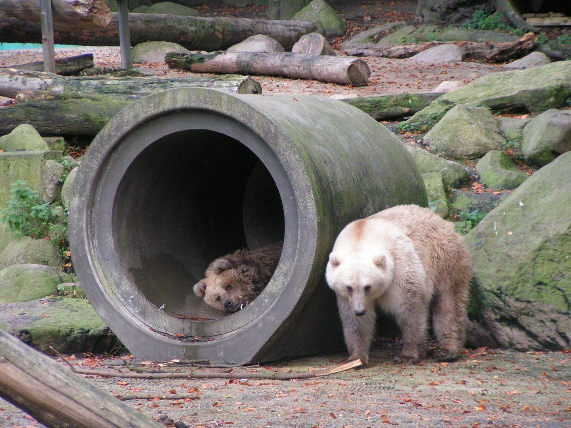 Гризли-полярные гибриды, вроде тех, что наэтом фото из зоопарка немецкого города Оснабрюк, рождаются после скрещивания гризли сполярными медведями. Такое скрещивание происходит сравнительно редко, но всё же достаточно часто для того, чтобы влиять нанаследственность обоих родительских видов.