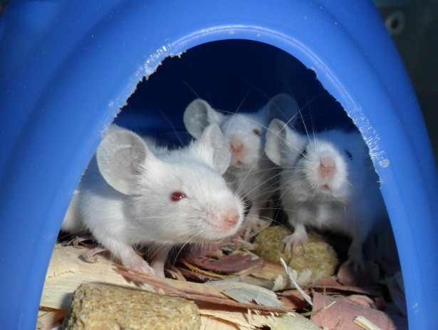 Получившие лечение мыши смоделью синдрома Дауна по когнитивным способностям практически перестали отличаться от здоровых особей.