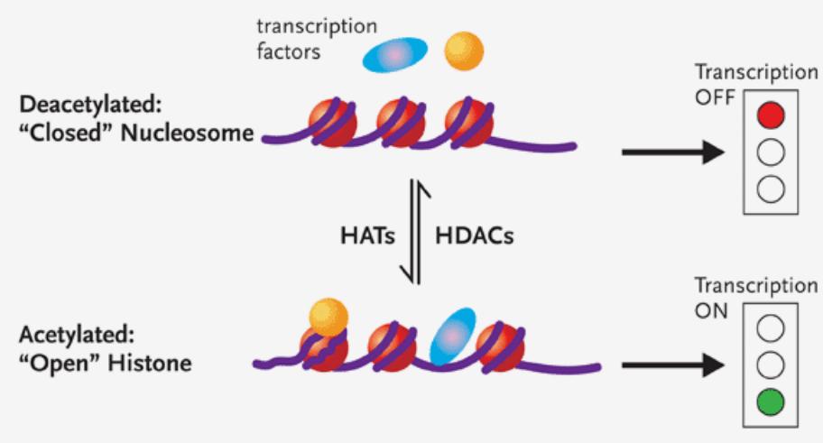 Изображение 3— катушки гистонов (сверху— неацетилированые, транскрипция непродолжается, снизу— ацетилированные, транскрипция продолжается)
