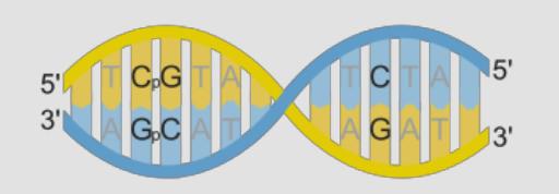 Изображение 4— CpG сайты— наДНК справа (между C иG, то есть, между цитозином игуанином, поставлен фосфат). Кэтим сайтам крепятся метильные группы