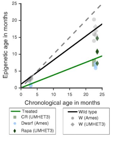 Изображение 8— чёрными ромбиками обозначены рапамициновые мыши, синими кружечками— карликовые, квадратиками— мыши сограничением калорий, зелёной линией— те, которые подвергались интервенции, чёрной— неподвергались. Вскобках указаны линии мышей— UMHET3 иAmes.