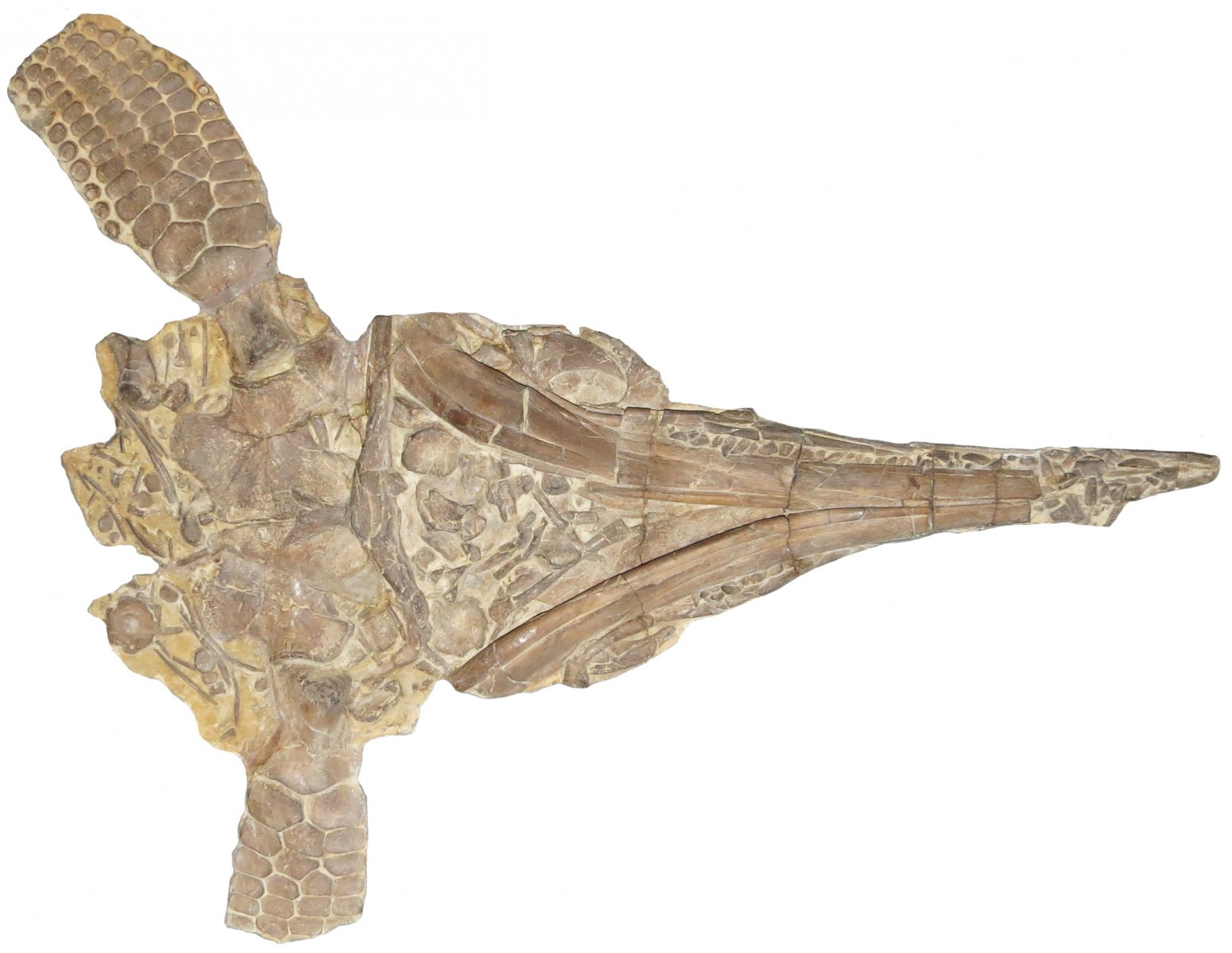 Protoichthyosaurus
