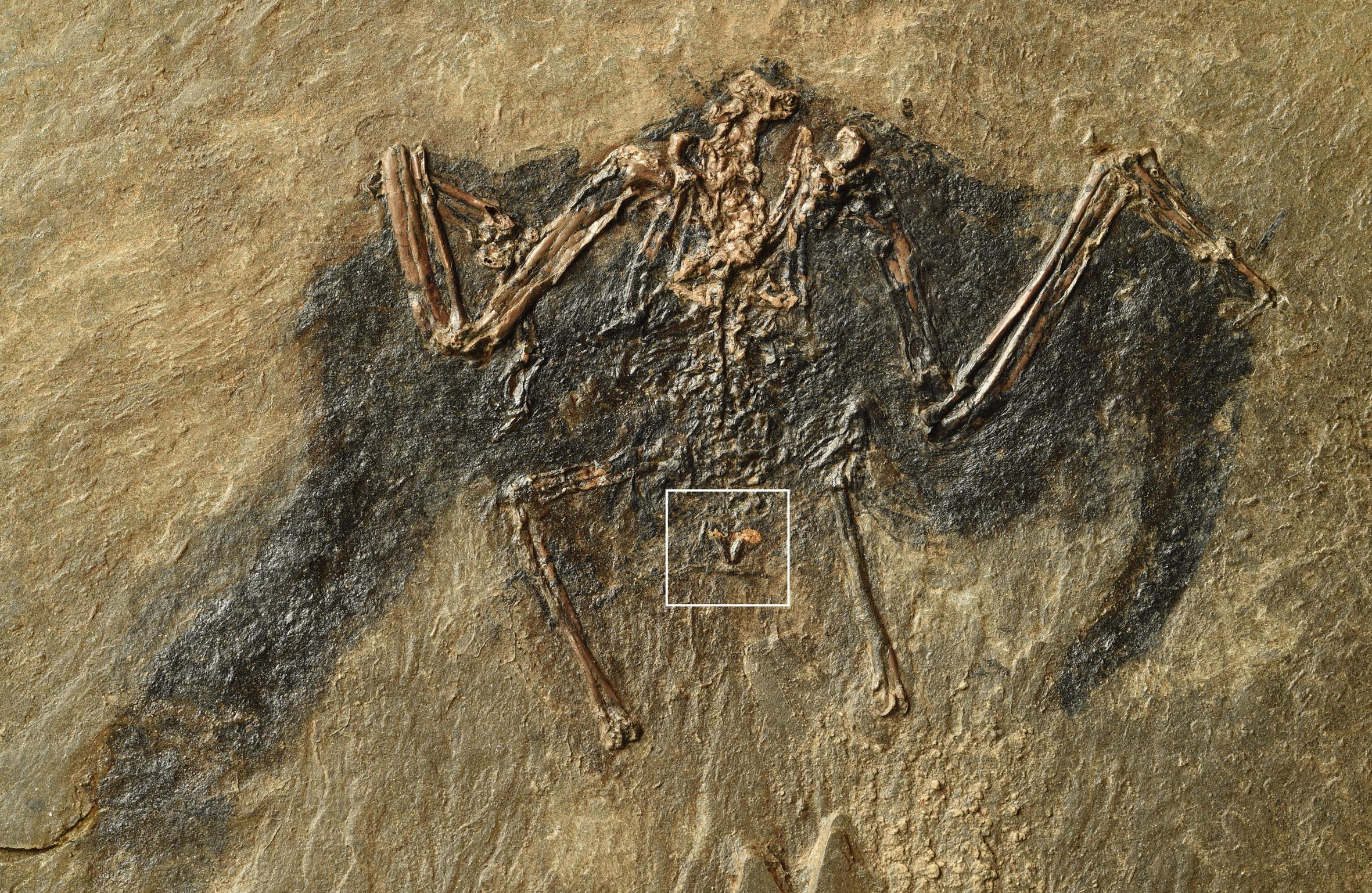 Окаменелости древней птицы. Отмечена область, вкоторой найдены древнейшие из известных липидов.