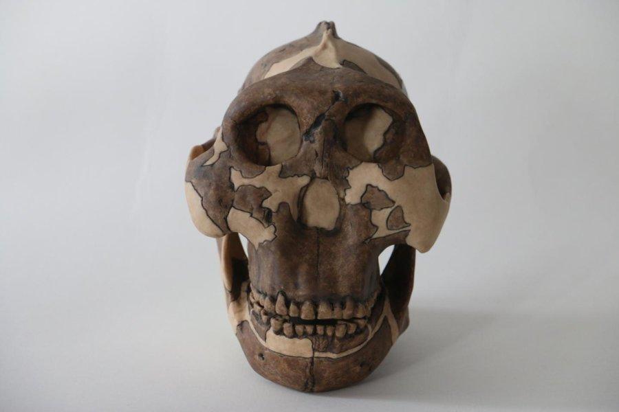 Макет черепа парантропа Бойса.