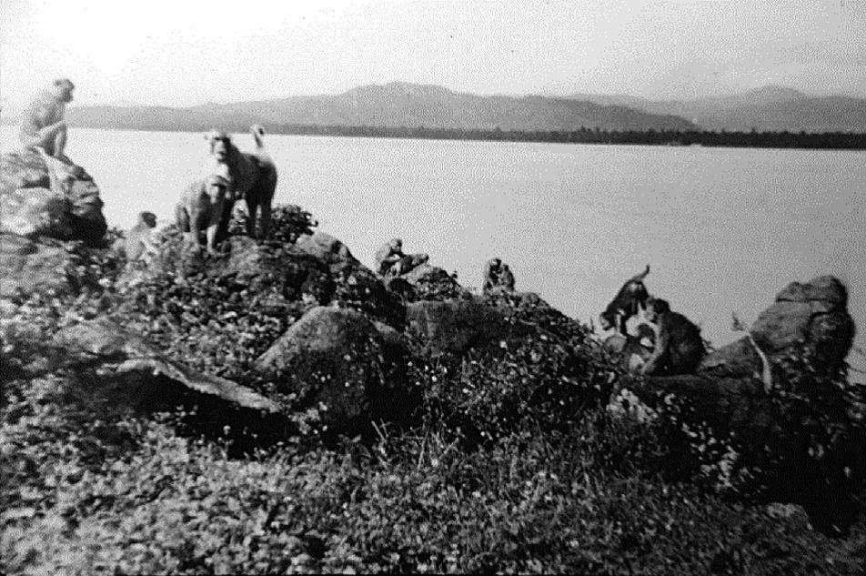 Обезьяны наКайо Сантьяго, 1939г. Из архивов Карибского центра изучения приматов