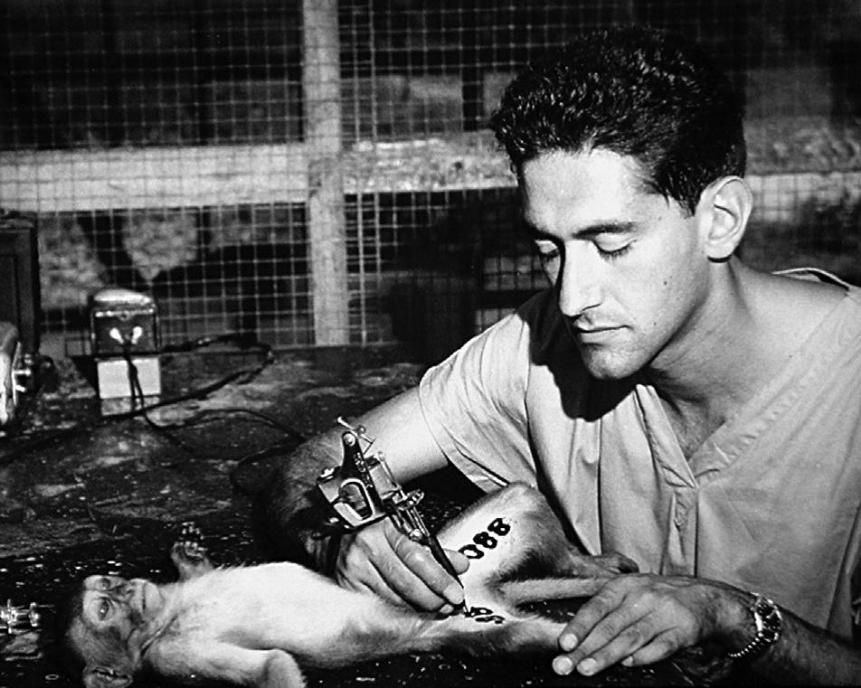 Стюарт Альтманн татуирует макаку-резуса вКайо Сантьяго, 1956г.