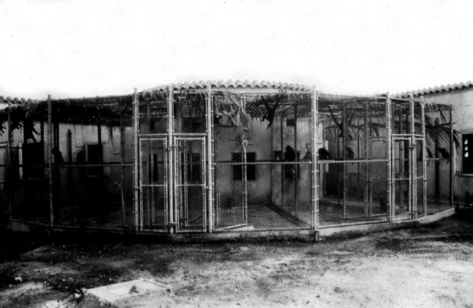 Вольеры для гиббонов, сооружённые Бахманом вШколе тропической медицины, 1937г. Из архивов Карибского центра изучения приматов