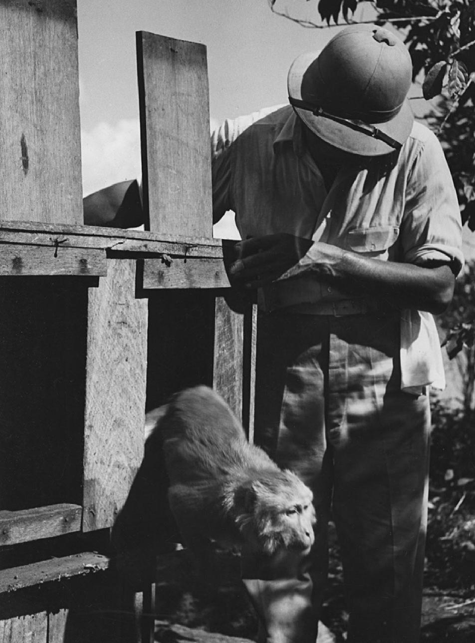 Первую макаку выпускают наКайо Сантьяго. 2 декабря 1938г. Фото Хансел Мит (Hansel Mieth)