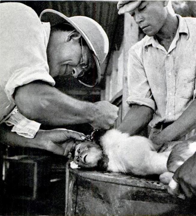 Макаке-резусу ставят метку наухо перед тем, как выпустить её наострове. LIFE 2 января 1939