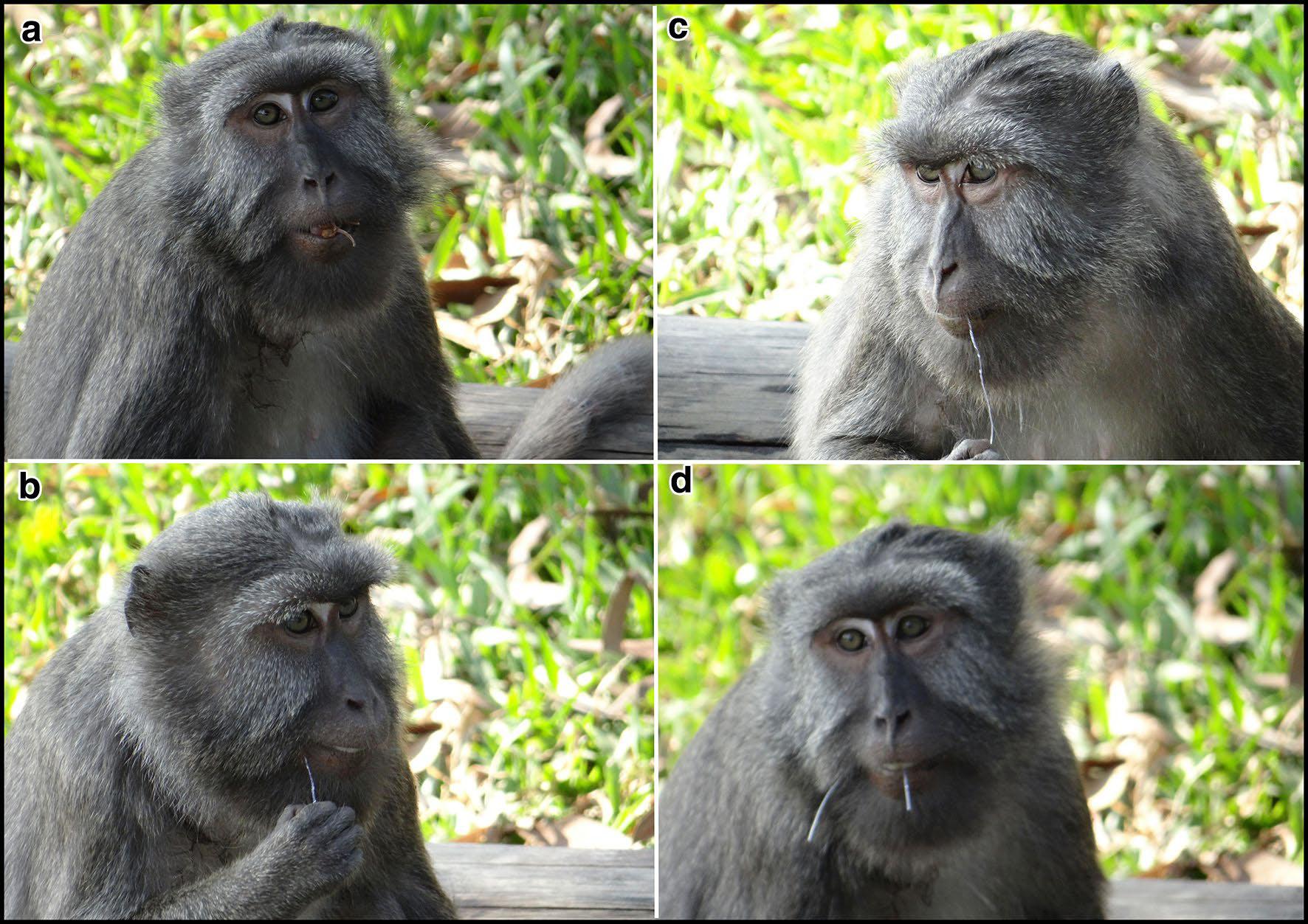 Примат гигиены. Макаки-крабоеды моют продукты ичистят зубы нейлоновой нитью