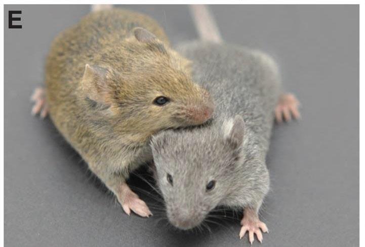 Е: слева— дикий тип мыши (окраска «агути»), справа— мутант свыключенным геном MFSD12