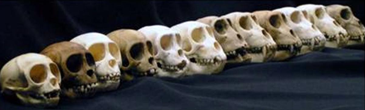 Фото черепов обезьян из рекламного буклета коллекции черепов Карибского центра изучения приматов, 2011г.