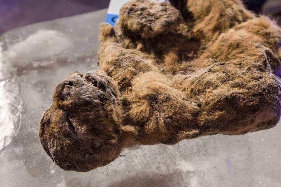 Натушке пещерного львёнка видна хорошо сохранившаяся шерсть.