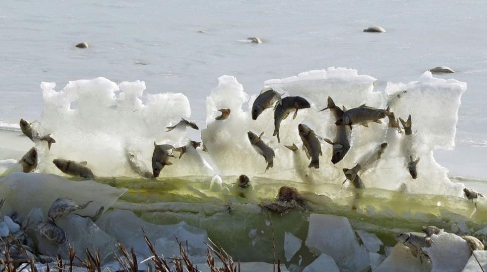 Рыбы, вмёрзшие влёд. Одна из многих занимательных фотографий, которые можно найти по хэштегу #BestCarcass.