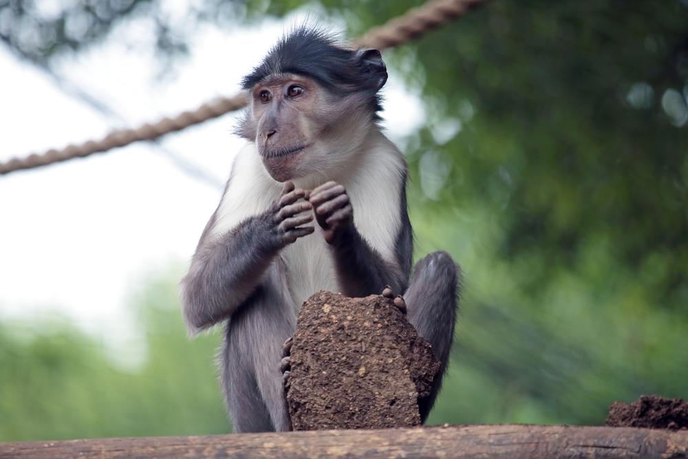 Дымчатый мангобей (<i>Cercocebus atys</i>). Обезьяны этого вида— один из источников вируса иммунодефицита учеловека.