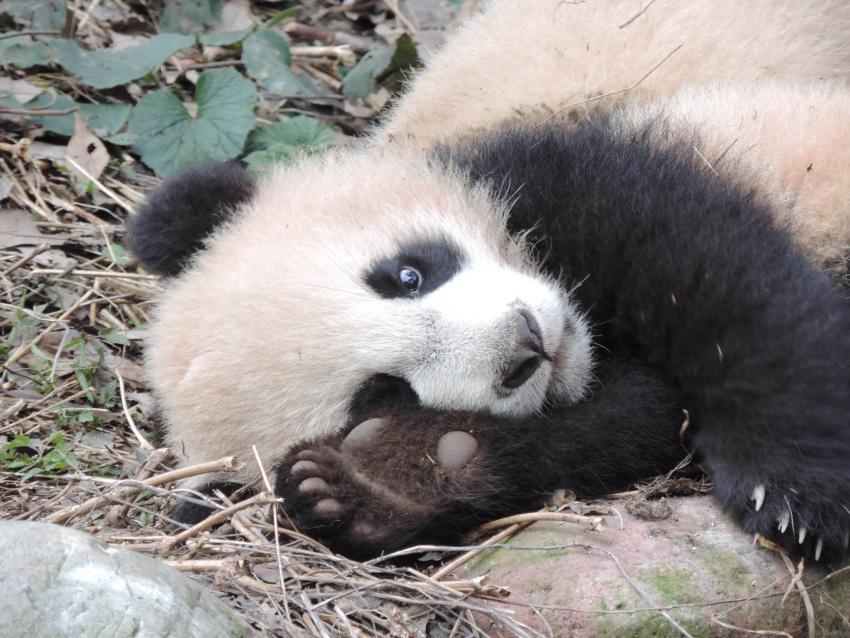 Большая панда (Бамбуковый медведь, <i>Ailuropoda melanoleuca</i>).