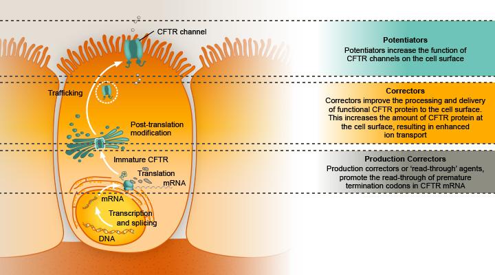 Рис. 4. Клетка сдефектным хлорным каналом. Kalydeco является «потенциатором», то есть связывается сCFTR, который находится вмембране инормализует его функцию, аtezacaftor иVX-440— корректоры, которые обеспечивают стабилизацию канала внутри клетки идоставку его кповерхности [5]