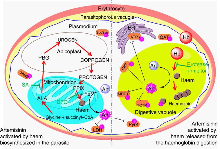 Рис. 6. Схема активации артемизинина (сиреневый) гемом (коричневый) вклетке малярийного плазмодия внутри эритроцита