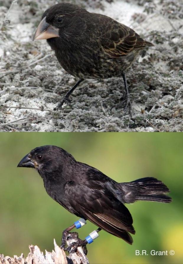 Пара вьюрков, ставших родоначальниками нового вида: самец Geospiza conirostris, (сверху) исамка Geospiza fortis, (снизу).