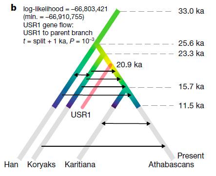 Демографическая история USR1, восточных азиатов (хан), сибиряков (коряки) икоренных американцев (Южная Америка— каритиана, Северная Америка— атабаски). Стрелки показывают потоки генов