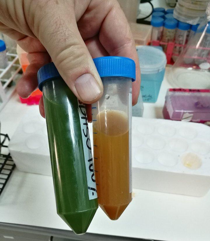 Разные виды водорослей влаборатории.