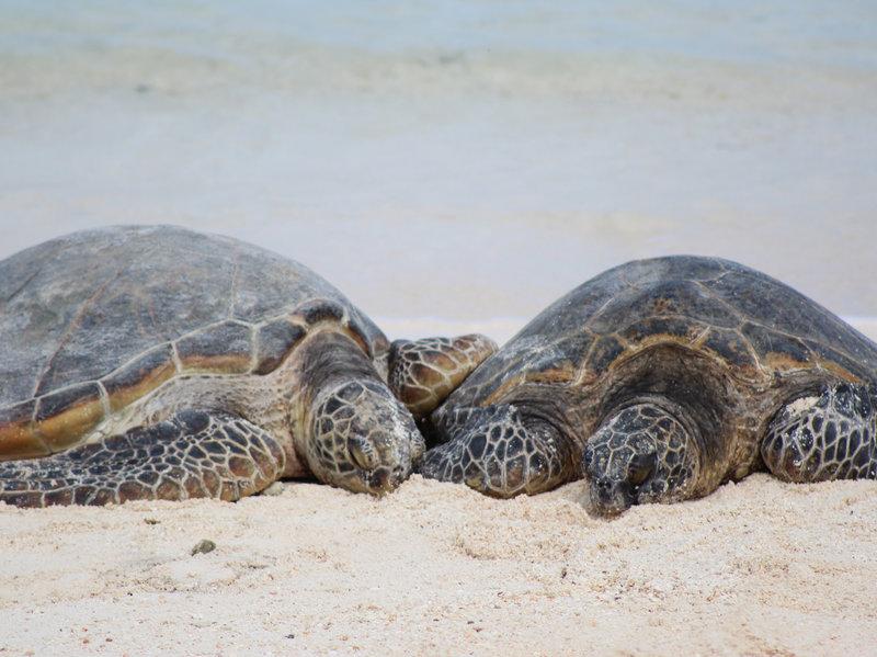 Половая принадлежность зелёных морских черепах зависит от температуры инкубации яиц. Чем теплее песок, вкоторый зарыта кладка, тем больше самок появится насвет.