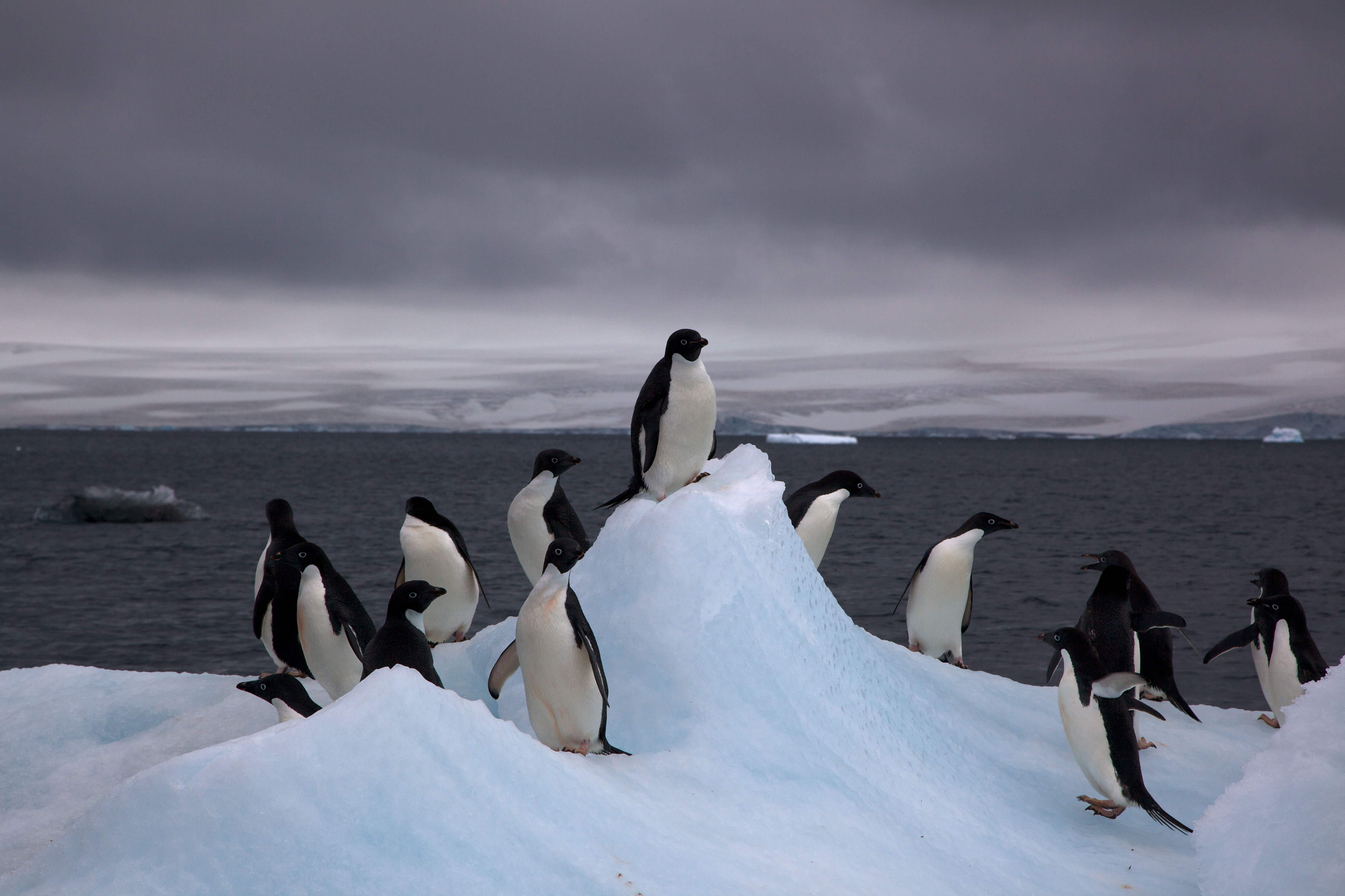 Судьба пингвинов будет зависеть от климатических условий вконкретных областях Антарктиды.