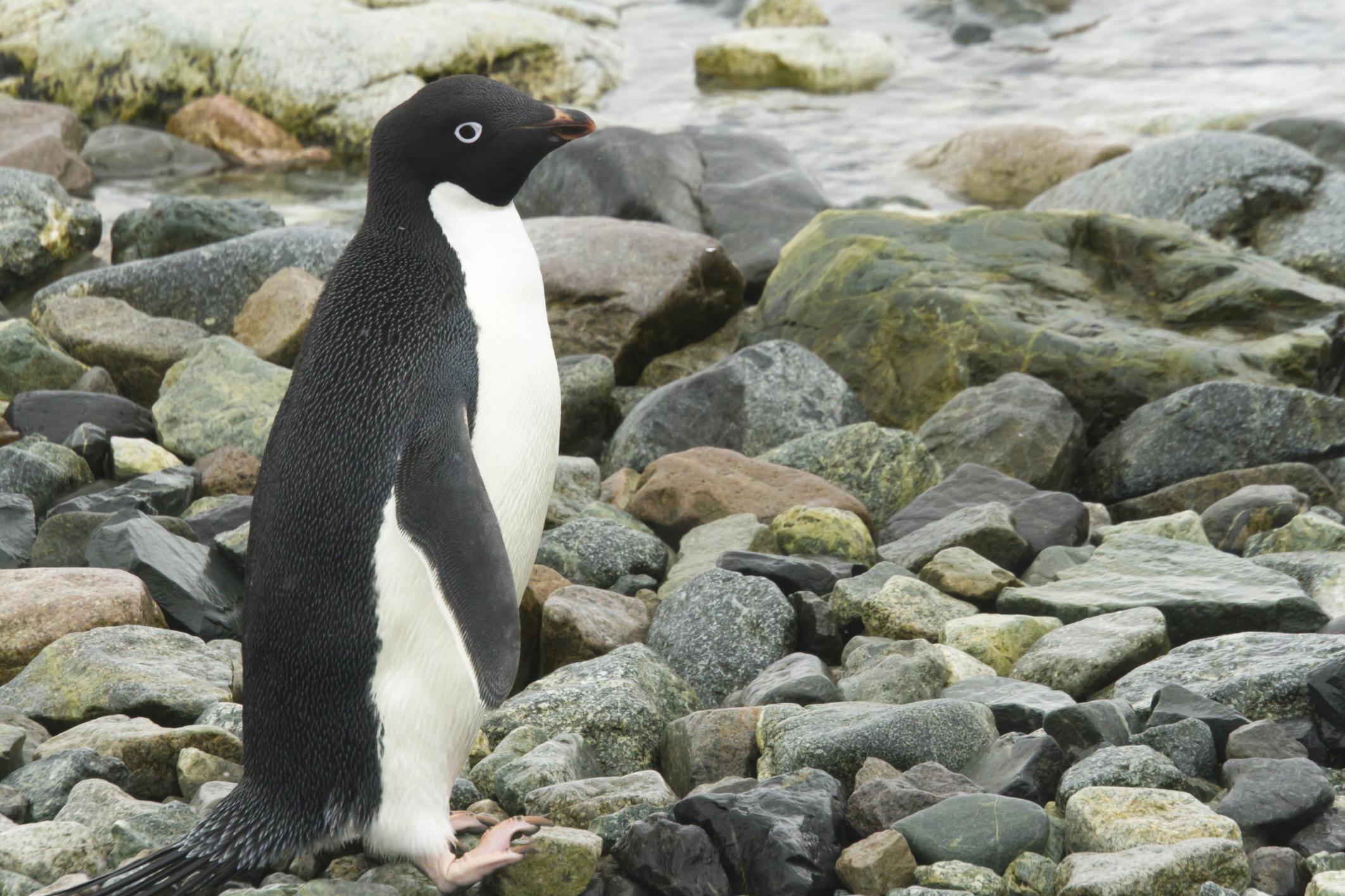 Пингвин Адели.