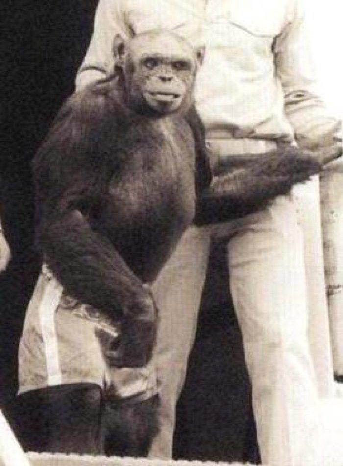 Шимпанзе Оливер— НЕ гибрид